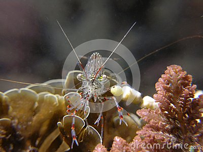 Glass Shrimp Glass-shrimp-16698937.jpg