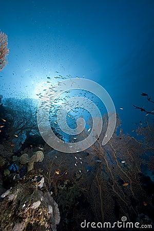 Glassfish, seafan and ocean
