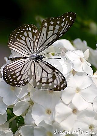 Glassy tiger butterfly