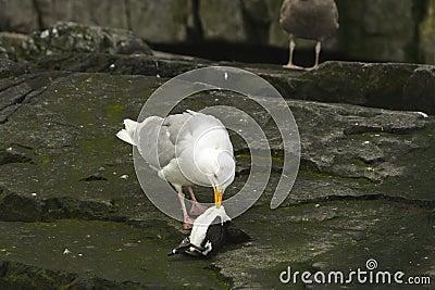 Glaucous gull eating a dead guiilemot