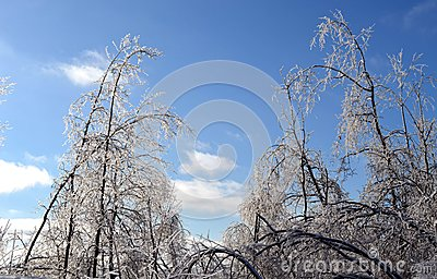 Glazed Frost Trees