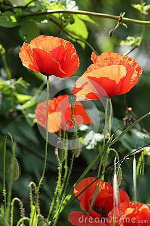 Gleaming Field Poppies