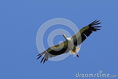 Gliding stork