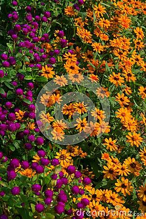 Globe Amaranths & Yellow Daisies