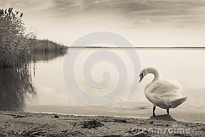 Gloomy Swan lake