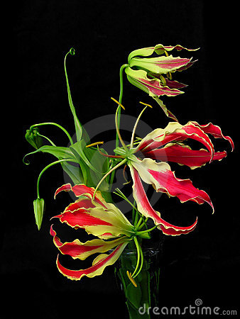 Free Gloriosa Superba Royalty Free Stock Photos - 141038