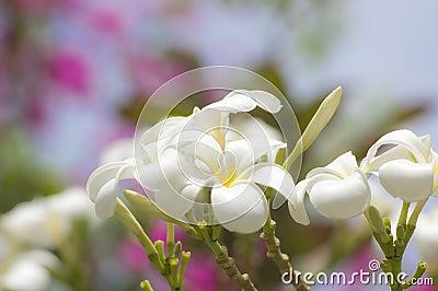 Glorious frangipani or plumeria flowers