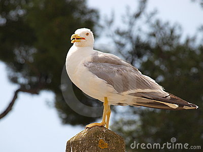 Glorious seagull