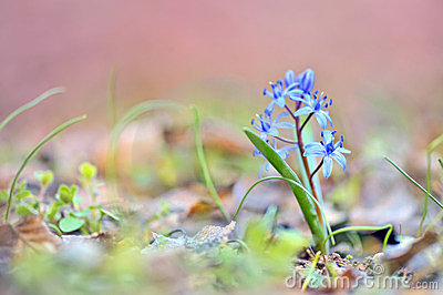 Glory-of-the-snow (Chionodoxa luciliae)