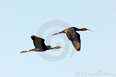 Glossy Ibis Flying