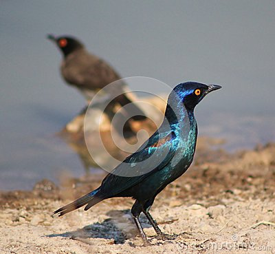 Glossy Starling - Blue and Purple