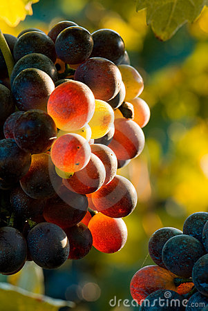 Free Glowing Grapes Autumn Image Royalty Free Stock Images - 6554979