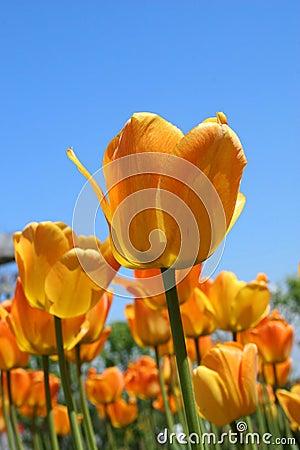 Free Glowing Tulips Detail Royalty Free Stock Photo - 797045