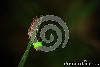 The glowworm