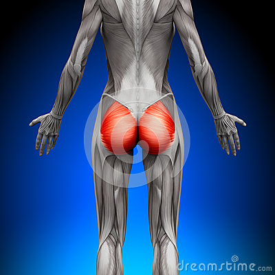 Free Glutes / Gluteus Maximus - Female Anatomy Muscles Stock Photo - 41041530