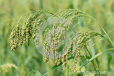 Glutinous broom corn