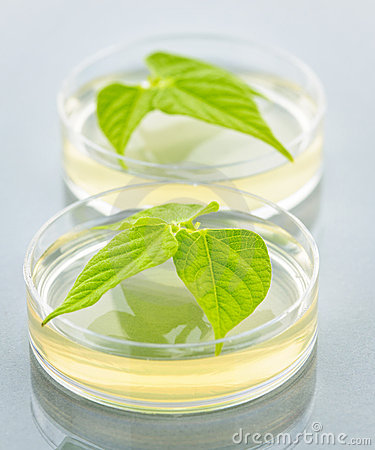 GM plants in petri dishes