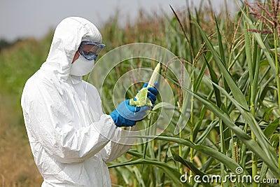GMO,profesional in uniform examining corn cob