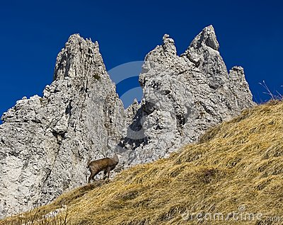 Gämse in den Alpen