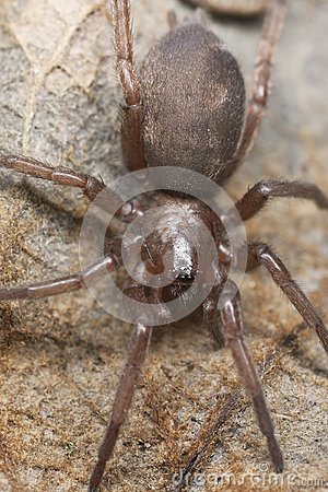 Gnaphosidae gruntują pająka pająku