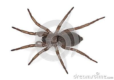 Gnaphosidae gruntują pająka