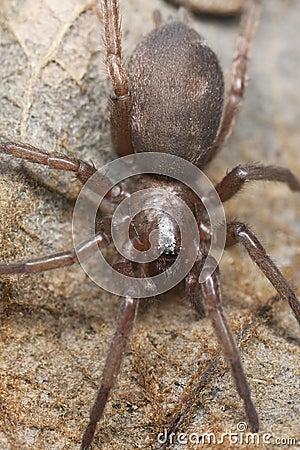 Gnaphosidae malande spindeln stealthy