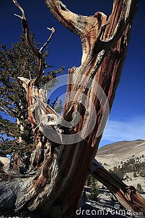 Gnarled Bristlecone pine tree