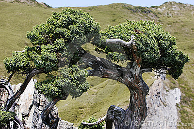 Gnarled cypress tree