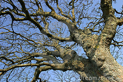 Gnarled Old Tree