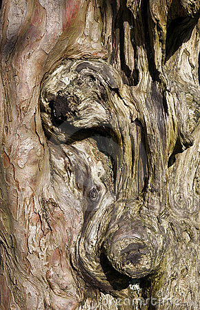 Gnarled old tree trunk