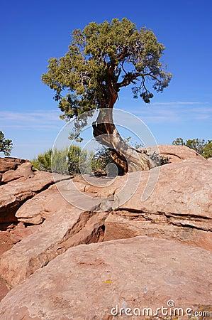 Gnarled Stunted Pine Tree