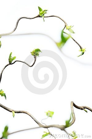 Free Gnarly Branches With Young Leaves Royalty Free Stock Photos - 9248968