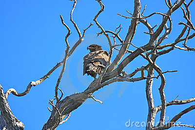 Gnarly Tree Branches with an Eagle