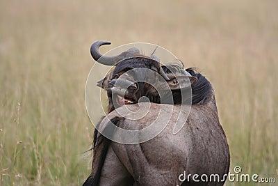 Gnu Migration