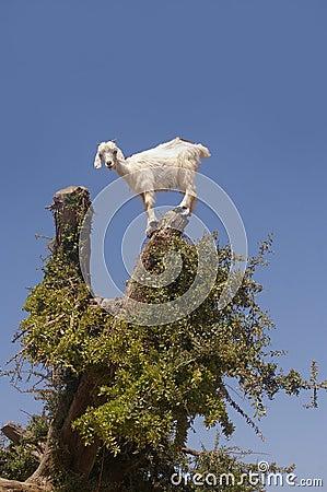 Free Goat Stock Photography - 13858752