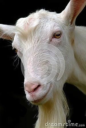 Free Goat Stock Image - 1678221