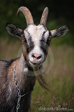 Free Goat Stock Images - 19732474
