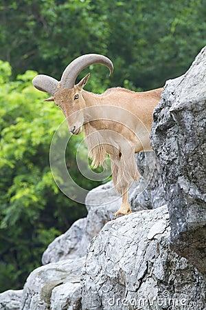 Free Goat Stock Photography - 20145842