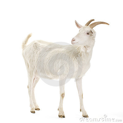 Free Goat Stock Photos - 2306373