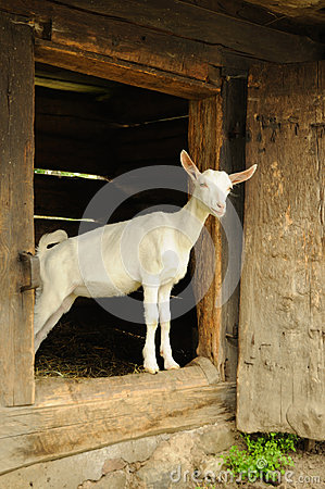 Free Goat Stock Images - 31942914
