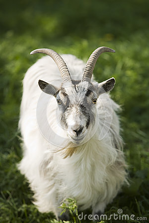 Free Goat Royalty Free Stock Photography - 39418777