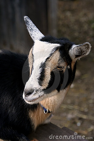 Free Goat Stock Images - 436054