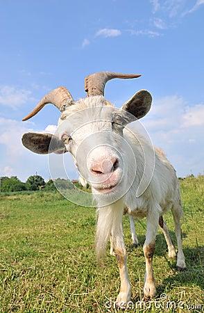 Free Goat Stock Image - 5404501