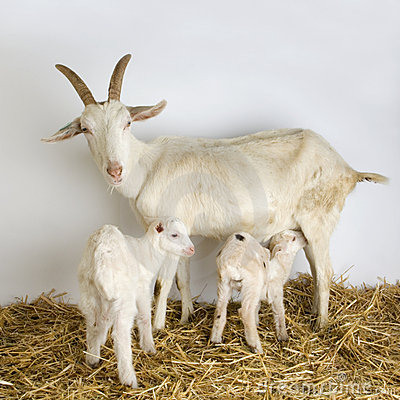 Free Goat And Her Kids Stock Photography - 2313042
