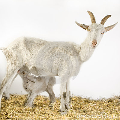 Free Goat And Her Kids Royalty Free Stock Image - 2313056