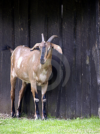 Goat before barn