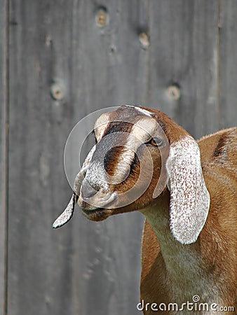 Goat in barnyard