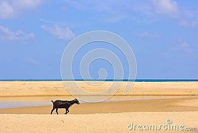 Goat on Beach