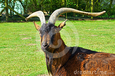 He-Goat with beard