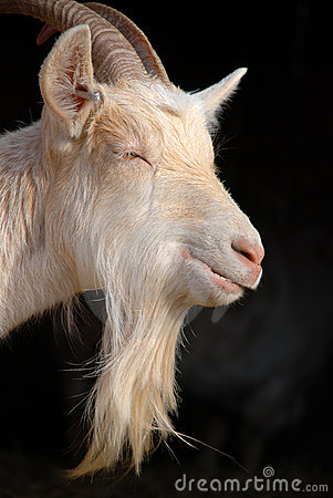 Goat beard
